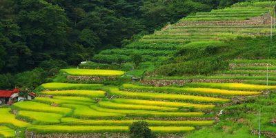 ご縁の国しまね  吉賀町大井谷棚田の歴史は600年、数630枚だ!